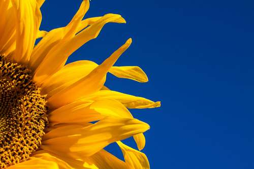 Music for Sunflowers banner image